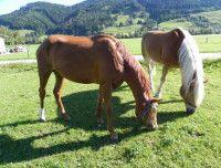 pferdezucht-leogang002.JPG